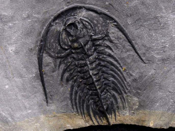 Zacanthoides serratus