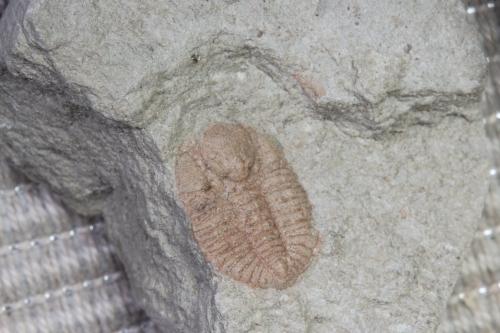Amphyxina bellatula