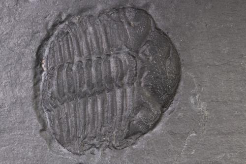 Chotecops fernandini