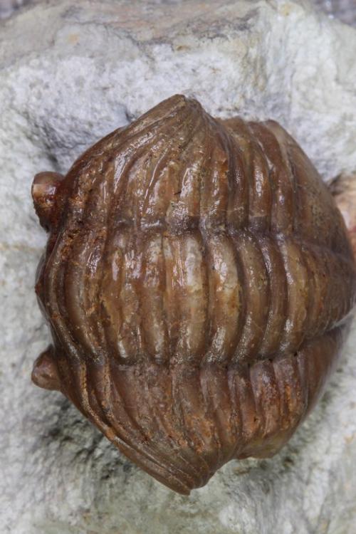 Asaphus expansus