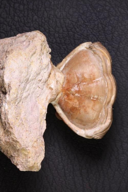 Asaphus holmi