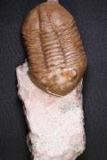 Asaphus lepidurus