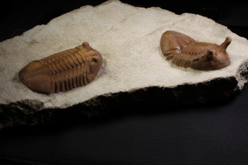 Asaphus lepidurus y Asaphus intermedius