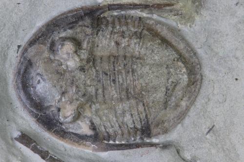 Isotelus maximus y Fexicalymene retorsa