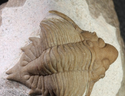 Metopolichas erici
