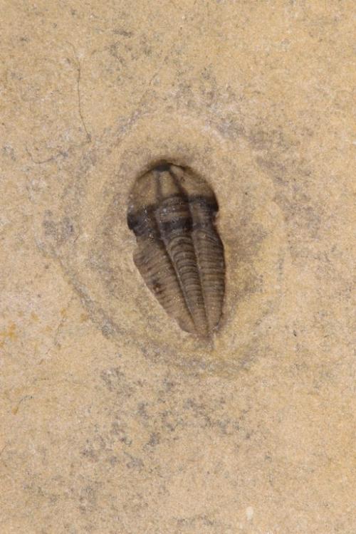 Nephalicephalus beebei