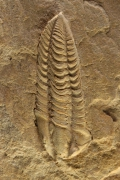 Salterocoryphe salteri