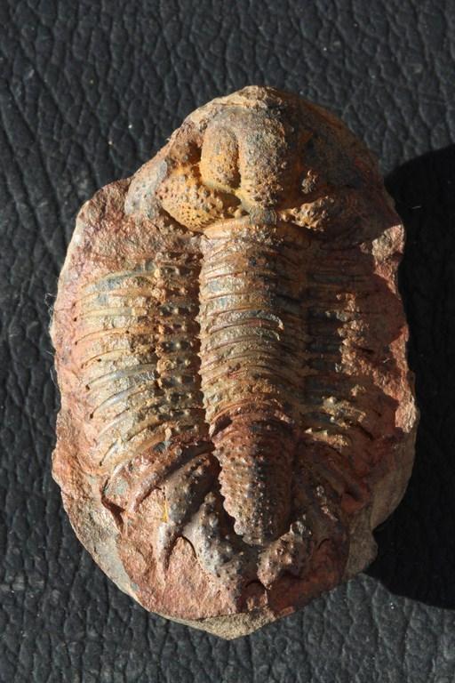 Acanthopyge balliviani