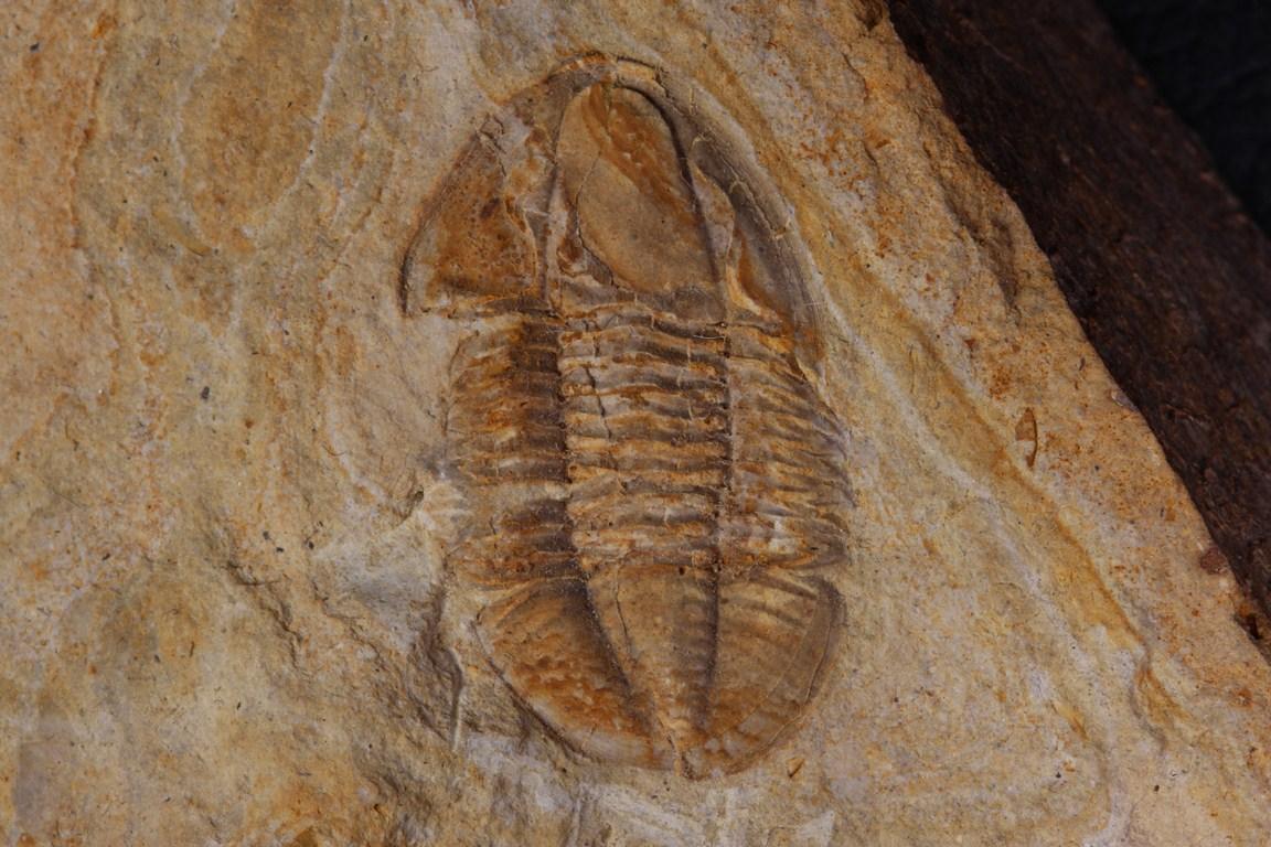 Archegonus polleni 3 (Copiar)