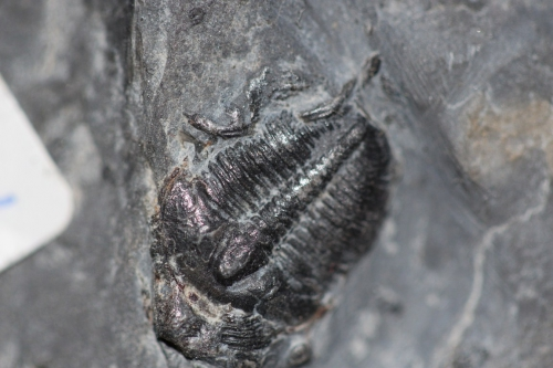 Bolaspidella housensis