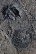 Ceraurus+ crinoideo