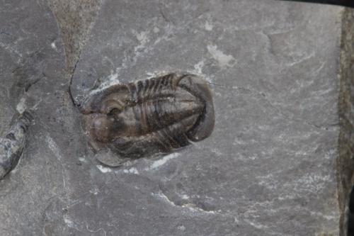 Ptyocephalus yersini