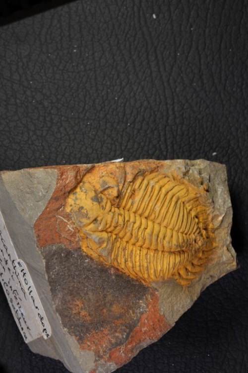 Metacanthina barrandei