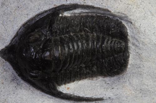 Diademaproetus antatlasius
