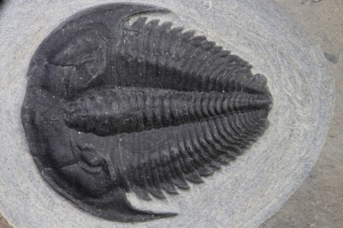 Amecephalus idahoense