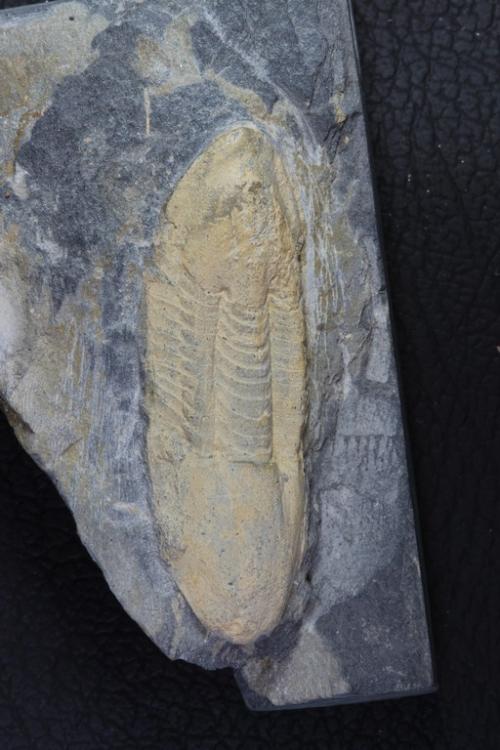 Ectillaenus giganteus