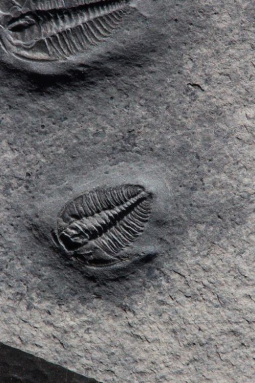 Wujiajiania sp.