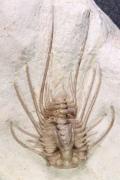 Dicranurus hamatus elegantus