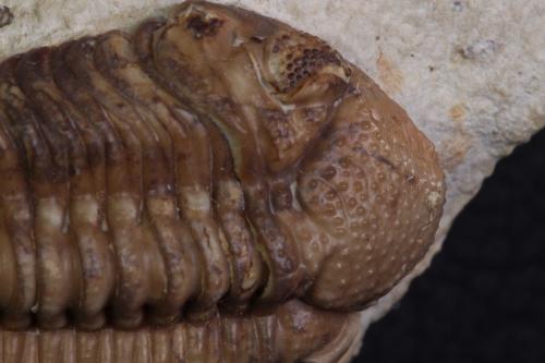 Kainops raymondi 3_1152x768