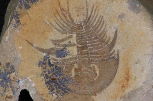Olenellus gilberti 4_1152x768