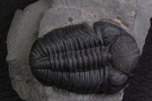 Phacops rana 2_1152x768