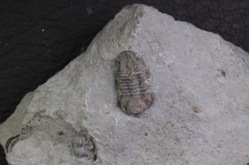 Phacops rana 5_1152x768
