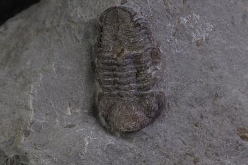 Phacops rana 6_1152x768