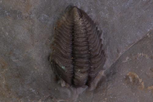 Pseudocybele altinasuta 3_1152x768