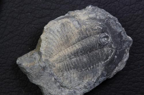 Pterocephalia norfordi (2)_1152x768
