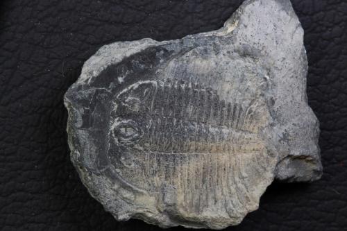 Pterocephalia norfordi 3_1152x768
