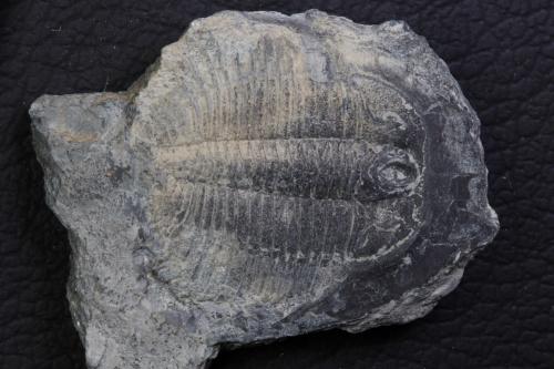 Pterocephalia norfordi 5_1152x768