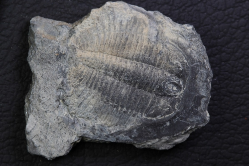 Pterocephalia norfordi_1152x768