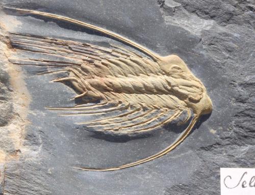Selenopeltis gallica
