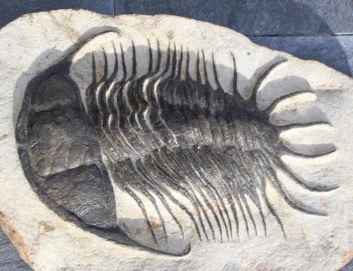 Parapilekia olesnaensis