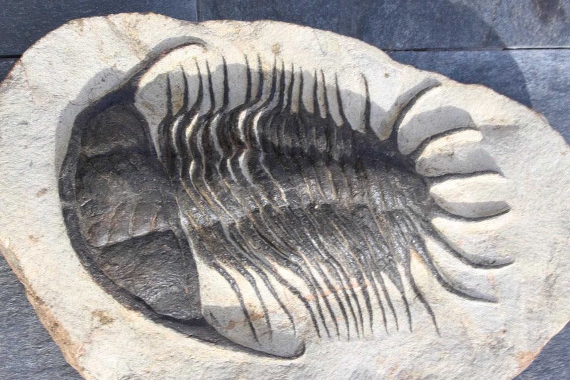 Parapilekia olesnaensis 2 (Copiar)