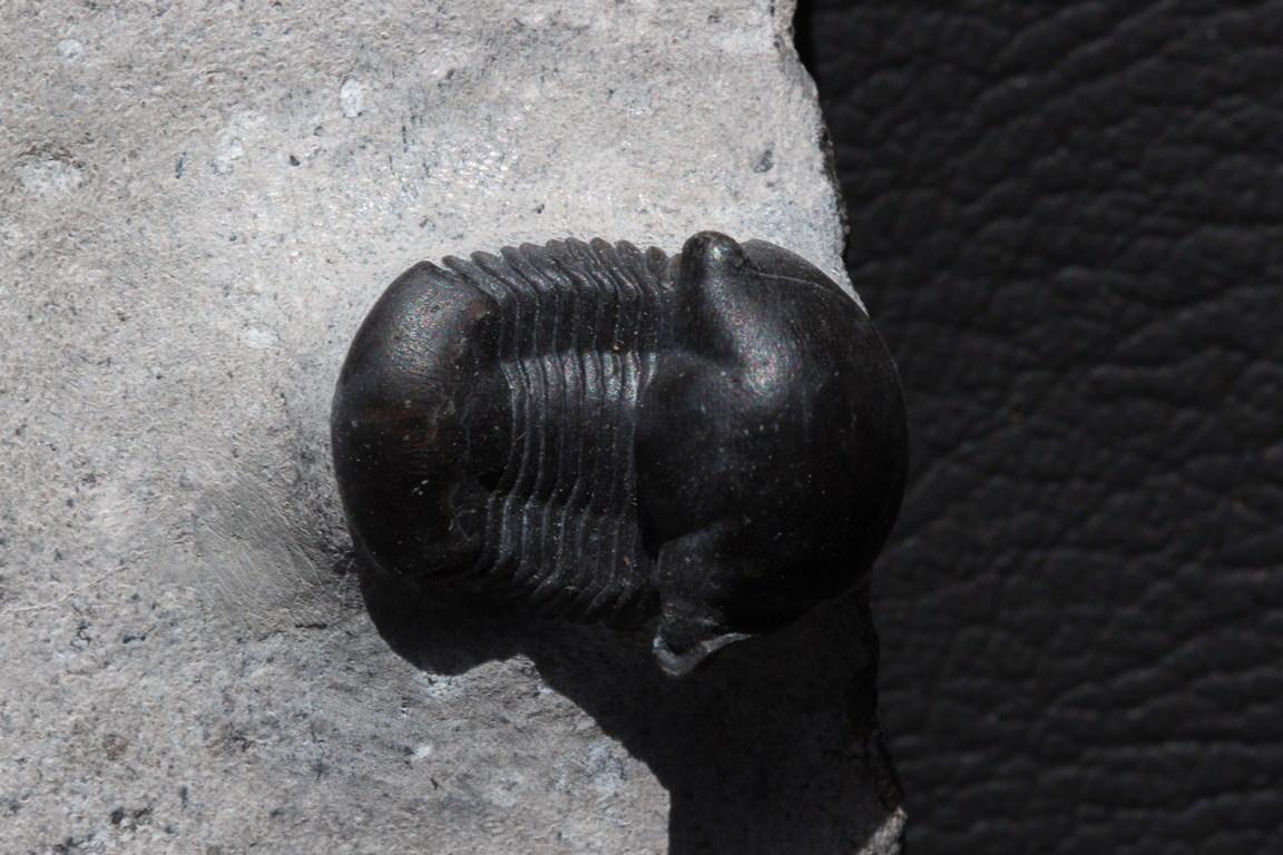 Nanillaenus americanus